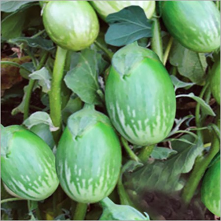 Picture of Brinjal Green Round - 500 gm