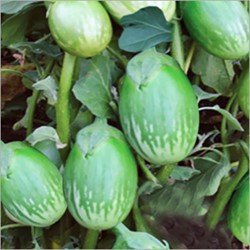 Picture of Brinjal Green Round - 250 gm
