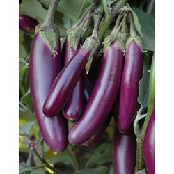 Picture of Brinjal Purple Long - 250 gm