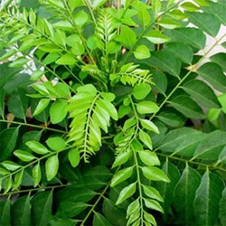 Picture of Curry Leaves - 1 Bunch