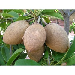 Picture of Sapota/Chikoo - 1 Kg